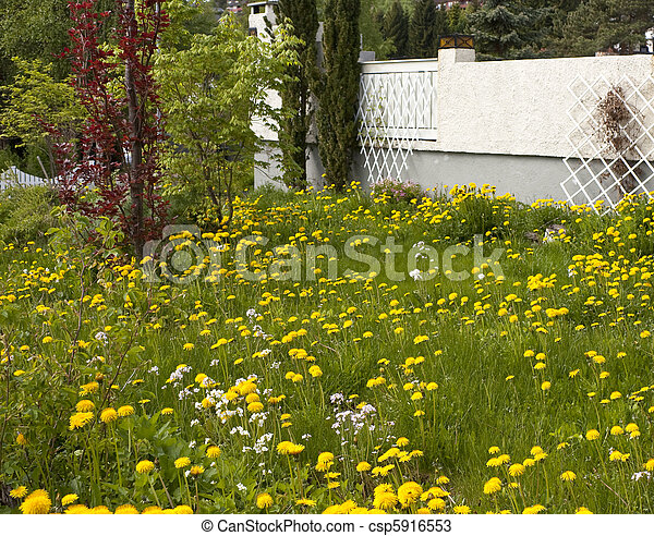 Neglected garden full of dandelions and other weeds - csp5916553