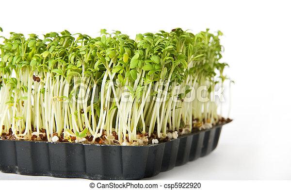 pequeno, árvore, branca, verde, vida - csp5922920