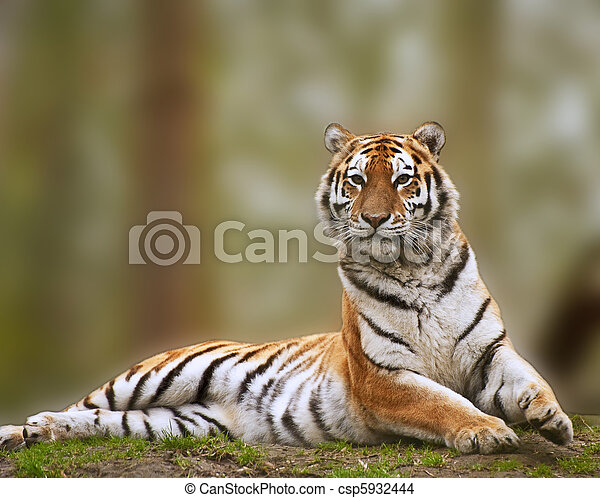 Alert Siberian tiger responds to loud noise - csp5932444