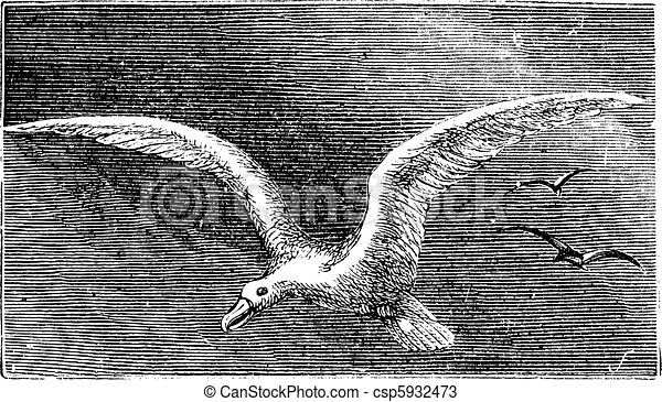 Wandering albastross, Snowy albatross, white-winged albatross or diomedea exulans engraving - csp5932473