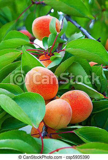 Ripe apricots grow on a branch - csp5935390
