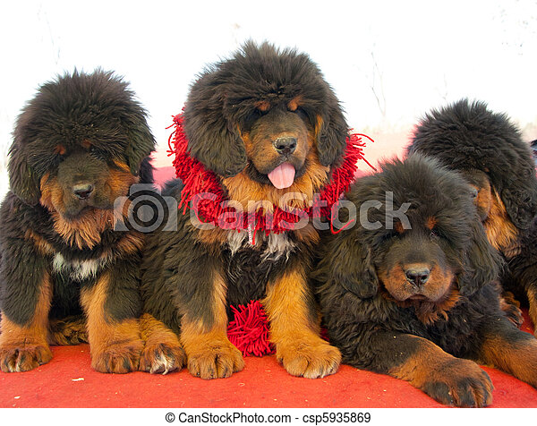 tibetan mastiff nice - csp5935869