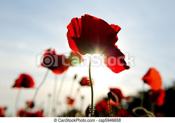 Poppies Wildflowers. - csp5946658