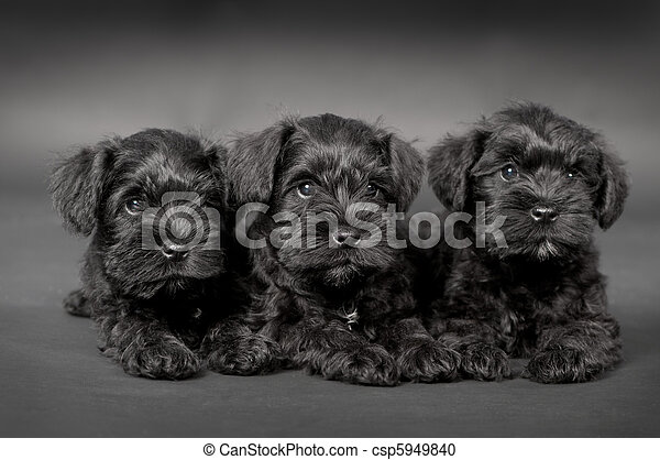 three black puppy of zwergschnauzer - csp5949840