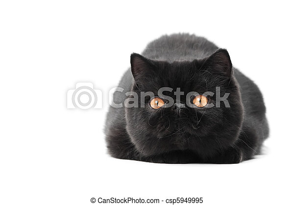 black exotic shorthair kitty cat - csp5949995