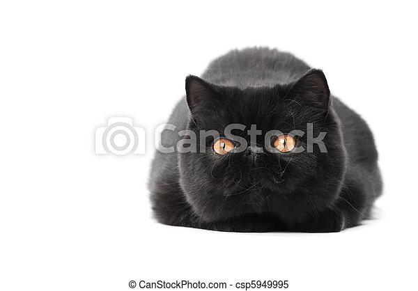 black exotic shorthair kitty cat - csp5949995