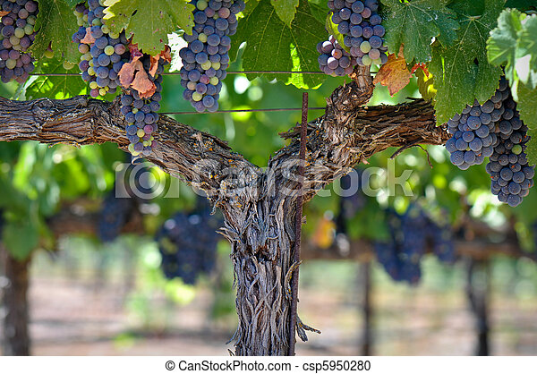 Red Grapes on the Vine in Napa Valley - csp5950280