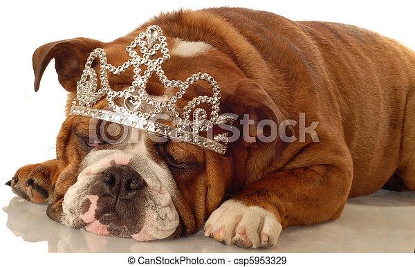 english bulldog wearing princess crown and silly expression  - csp5953329