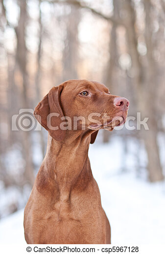 Pictures of Hungarian Vizsla Dog in Winter - A shot of a Hungarian ...