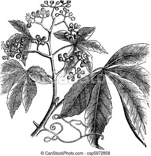 Virginia Creeper, Ampelopsis or  Parthenocissus Quinquefolia, American Ivy, Woodbine, False Grape vintage engraving. - csp5972858