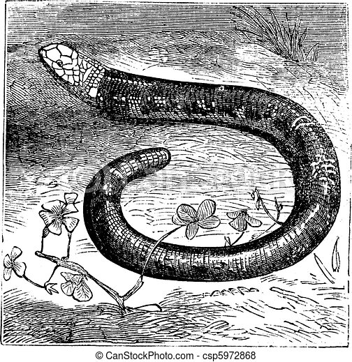 Amphisbaena fuliginosa, black-and-white worm lizard or speckled worm lizard vintage engraving. - csp5972868