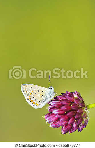 mariposa,  polyommatus,  Icarus - csp5975777
