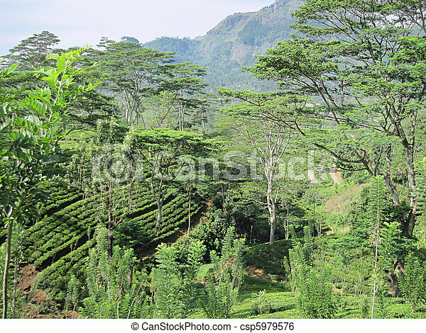 image de paysage sri lanka plantation th ceylan csp5979576 recherchez des photographies. Black Bedroom Furniture Sets. Home Design Ideas