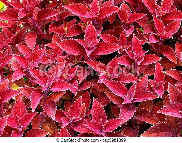 Red Coleus - csp5981399