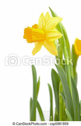 Archivi fotografici di giallo narciso fiore closeup for Narciso giallo