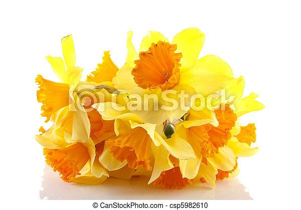 Yellow with orange daffodil flowers - csp5982610