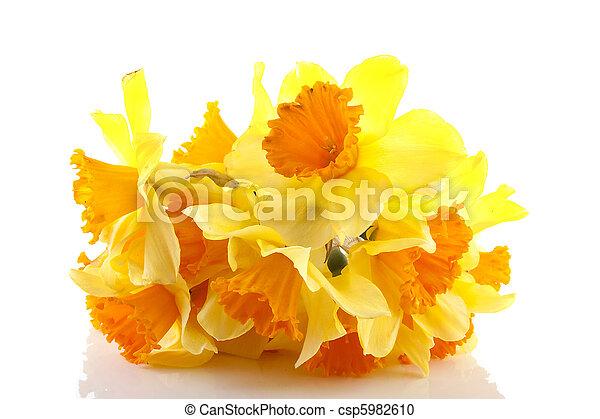 Yellow with orange daffodil flowers - csp5982610