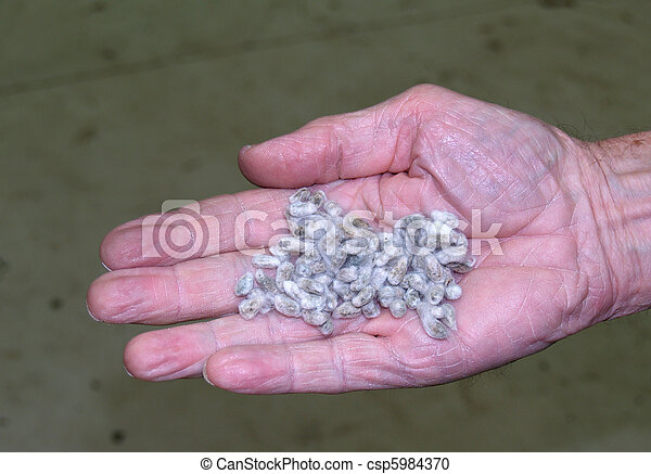 Cotton Seed That Has Been Cleaned - csp5984370