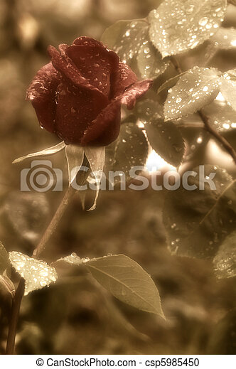 red rose bud red rain drops  - csp5985450