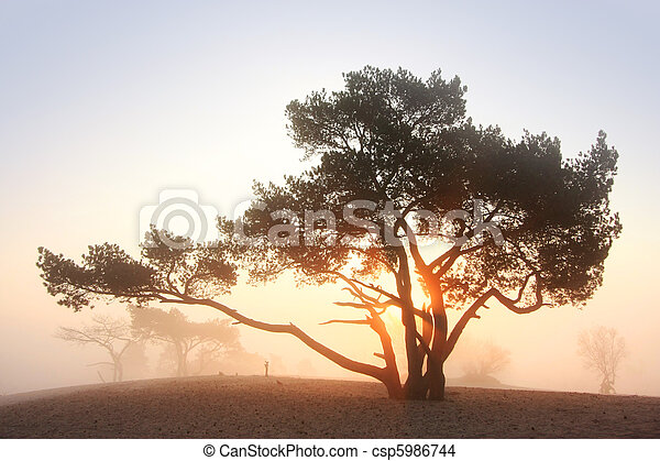 Pine-tree at sunrise - csp5986744