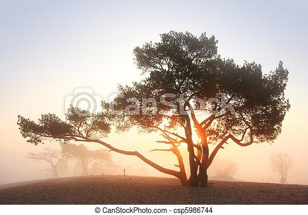 Pine-tree at sunrise - csp5986744