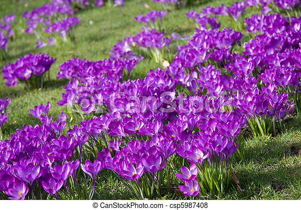 Dutch spring crocus flowers - csp5987408