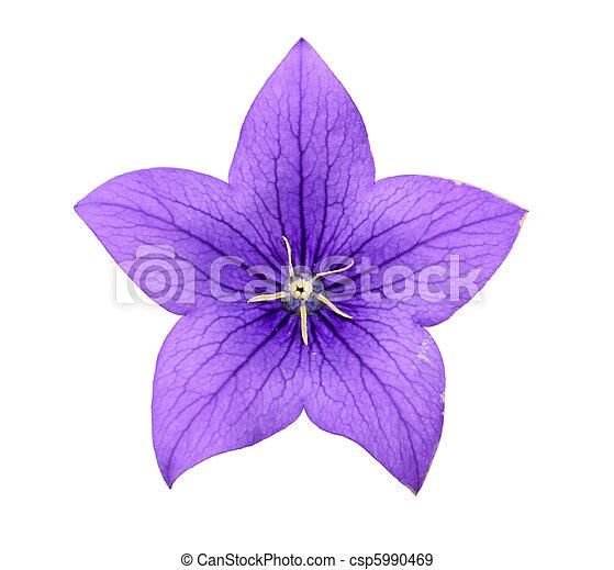 Bluebell flower - csp5990469