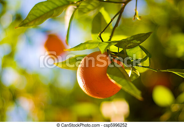 Ripe Oranges On An Orange Tree Close-Up. Shallow DOF. - csp5996252