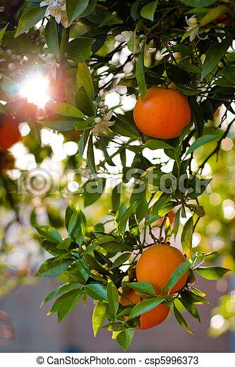 Ripe Oranges On A Tree Close-Up. Shallow DOF - csp5996373