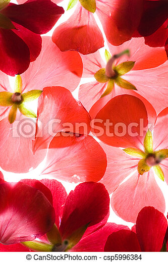 Backlit Red Flower Petals Background - csp5996384