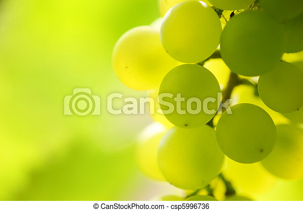 Close-up of a bunch of grapes on grapevine in vineyard. Shallow DOF. - csp5996736