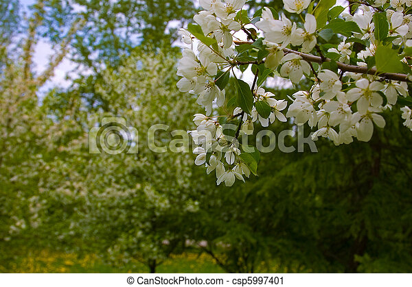 Blooming Apple Trees - csp5997401