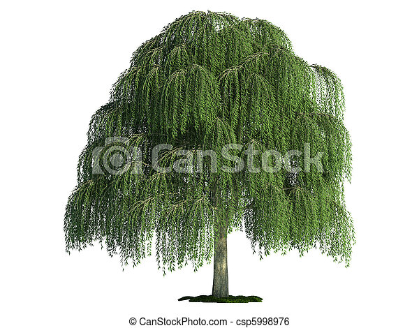 isolated tree on white, Willow (salix) - csp5998976