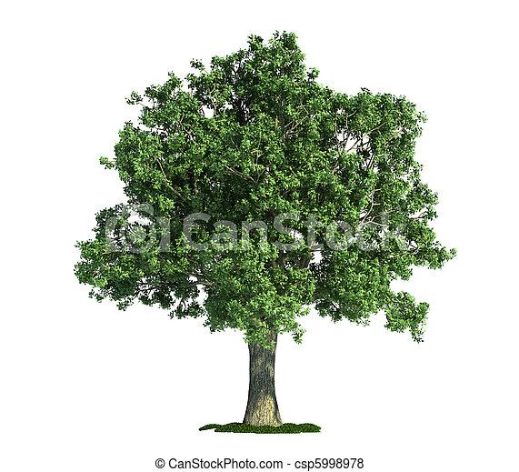 isolated tree on white, Oak (Quercus) - csp5998978