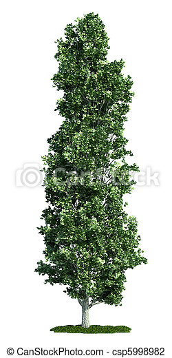 isolated tree on white, Poplar (Populus) - csp5998982