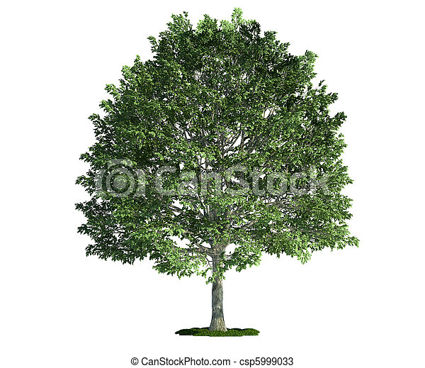 hornbeam,  (carpinus), árbol, aislado, blanco - csp5999033