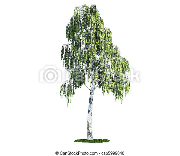 isolated tree on white, birch (betula) - csp5999040