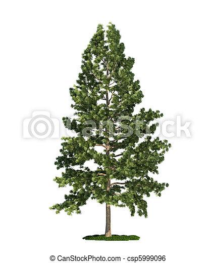 isolated tree on white, Eastern white pine (Pinus strobus) - csp5999096