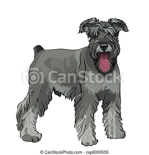 vector Miniature Schnauzer dog with his tongue hanging out - csp6000555