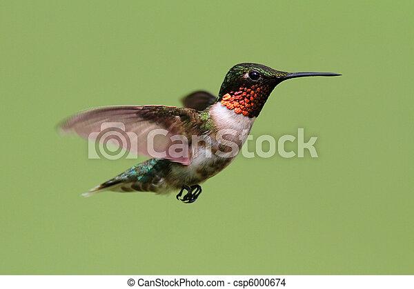 ruby-throated, colubris), colibrí, (archilochus - csp6000674
