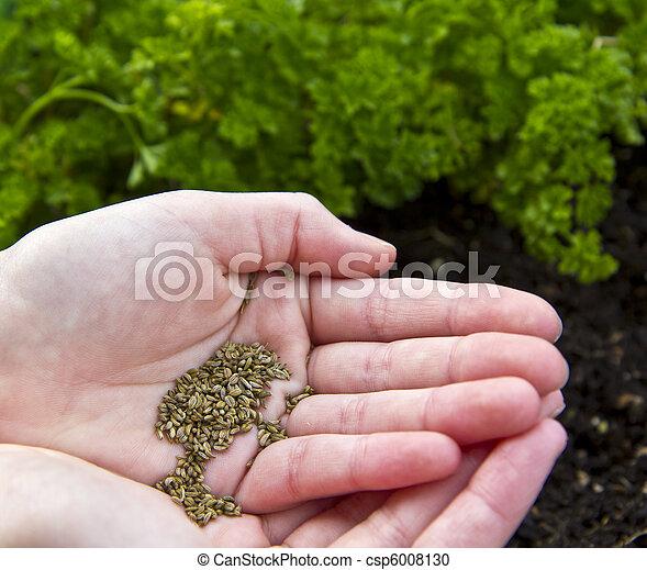 photographies de planter graines persil persil graines tre pr t csp6008130. Black Bedroom Furniture Sets. Home Design Ideas