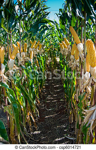 Maize Crop - csp6014721