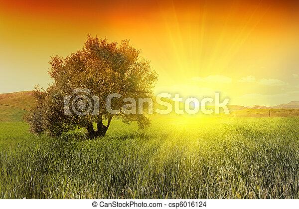 橄欖, 樹, 日出 - csp6016124