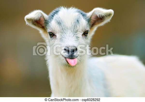 funny goat puts out its tongue - csp6028292