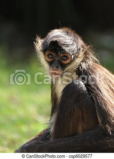 Geoffroy's Spider Monkey (Ateles geoffroyi) - csp6029577