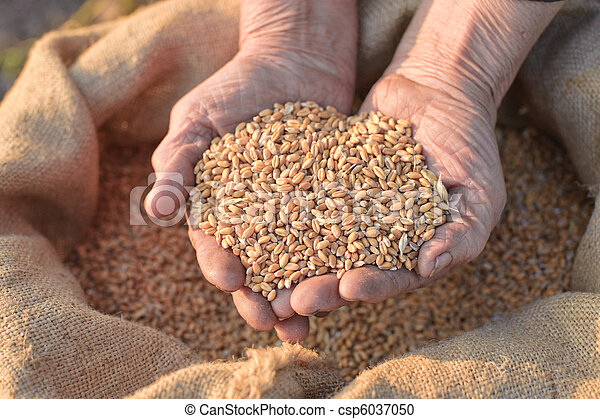 Wheat and hands of the old farmer - csp6037050