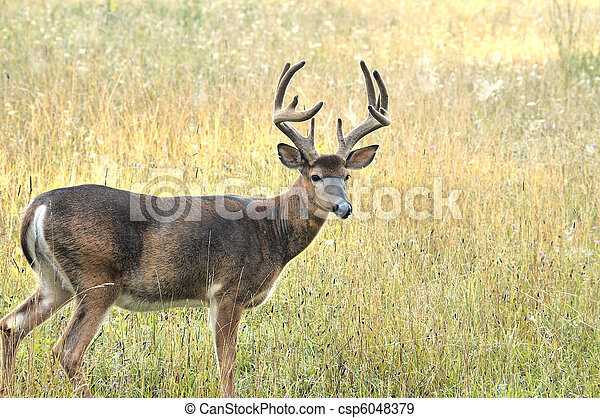 Whitetail Deer Buck - csp6048379