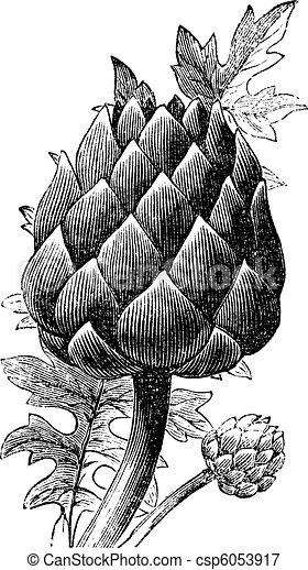 Artichoke, globe artichoke or Cynara cardunculus old engraving. - csp6053917