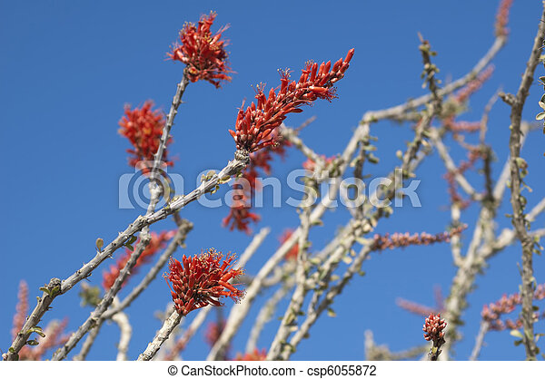 Blooming Desert Plant Ocotillo in Anza Borrego Desert, California (Fouquieria splendens, also called desert coral, coachwhip, Jacob's staff, and vine cactus) - csp6055872