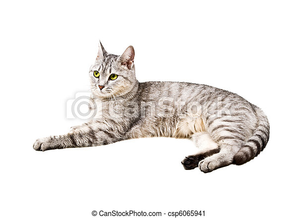 domestic cat with a white background - csp6065941